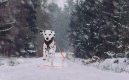 Dalmatiner im Schnee