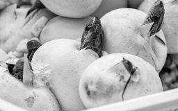 Kornnatter schlüpft